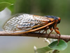 Brood I Periodical Cicada